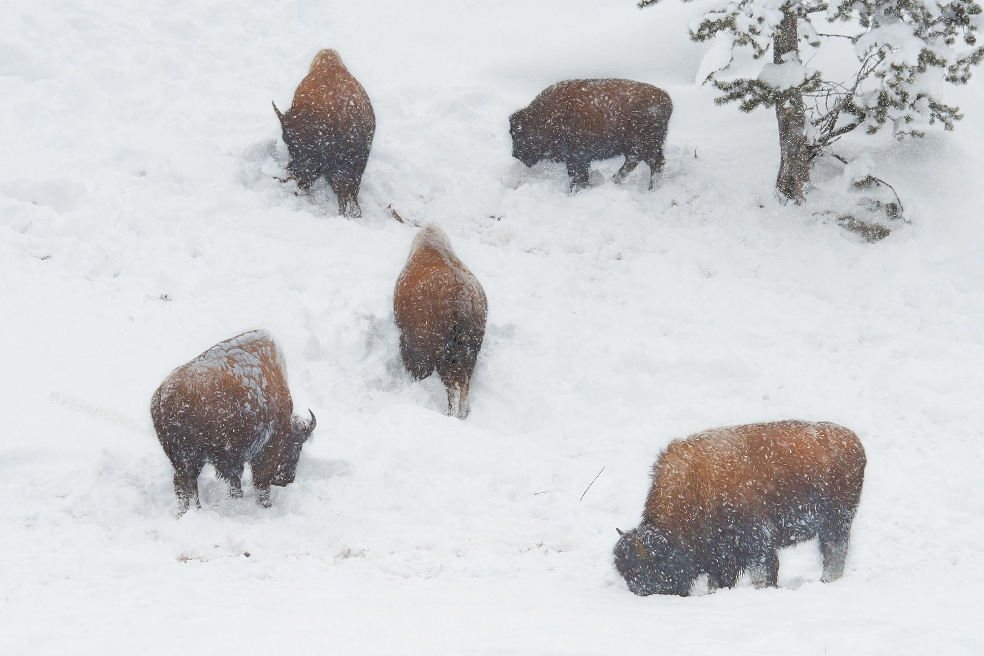 Bison Alignment, Yellowstone