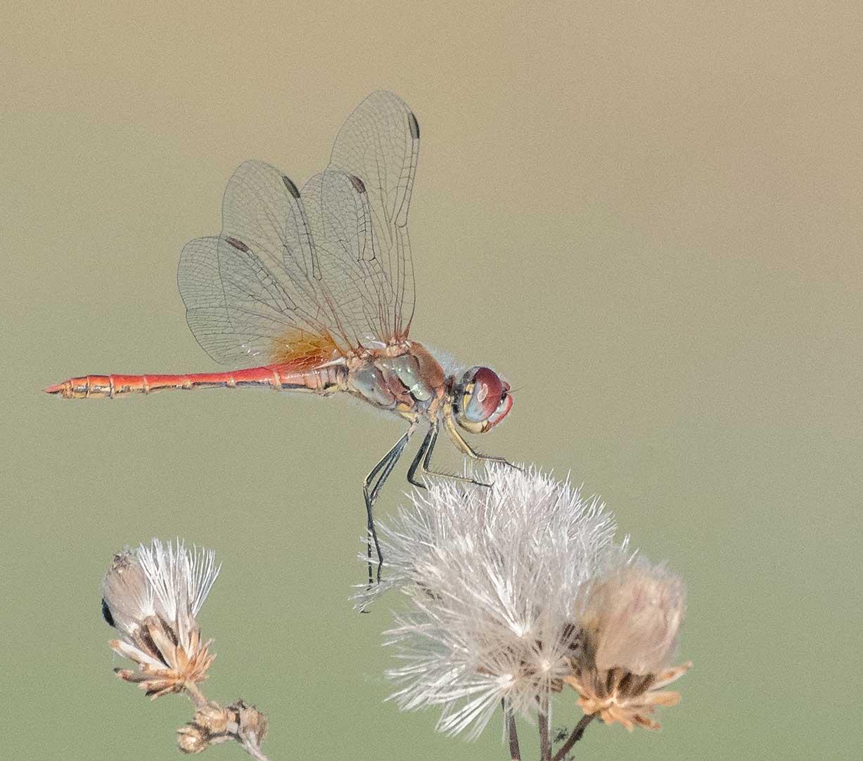 Botswana Dragonfly