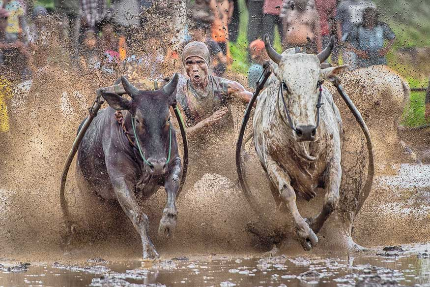 Bull Rider, West Sumatra, Indonesia