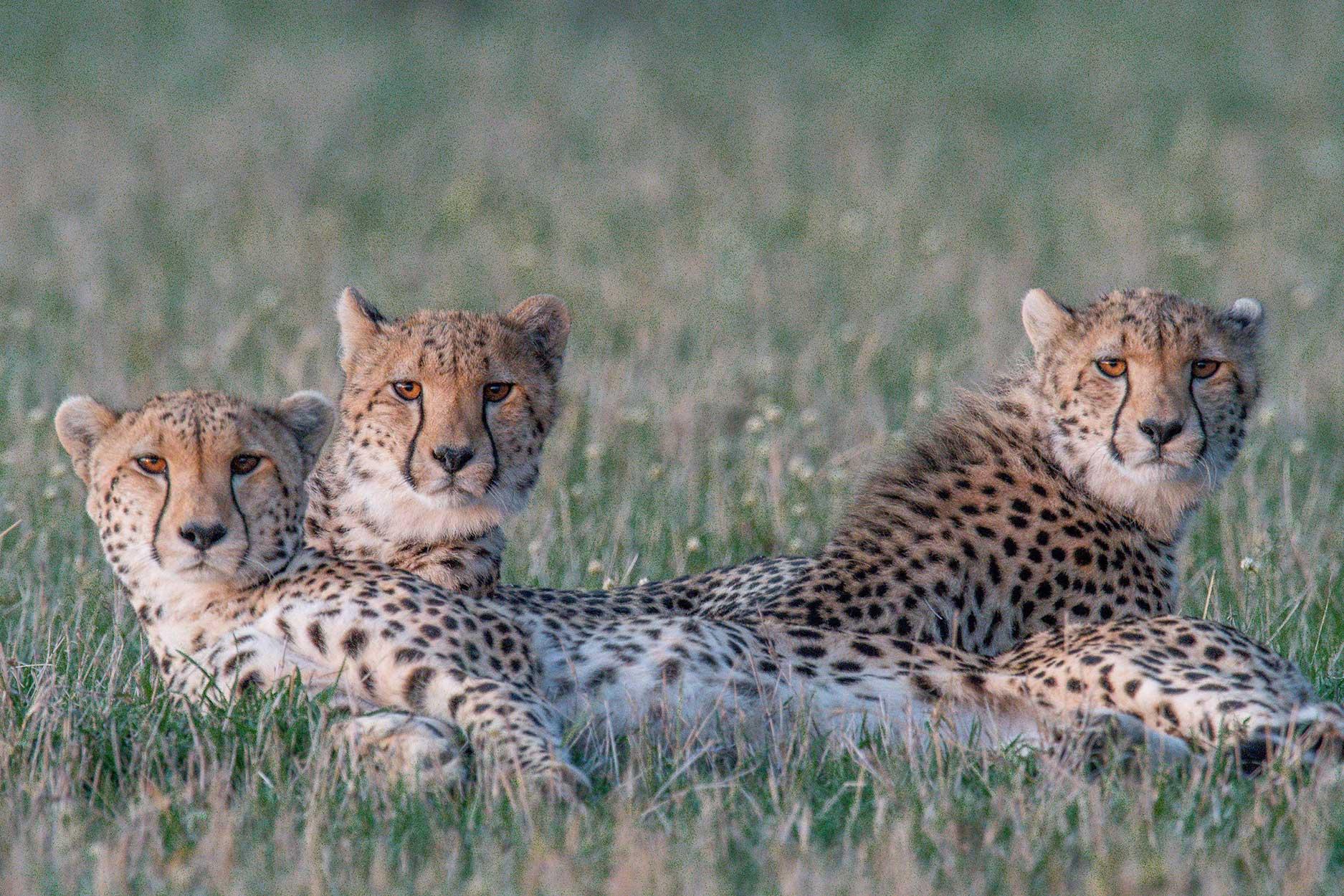 Cheetah Lineup