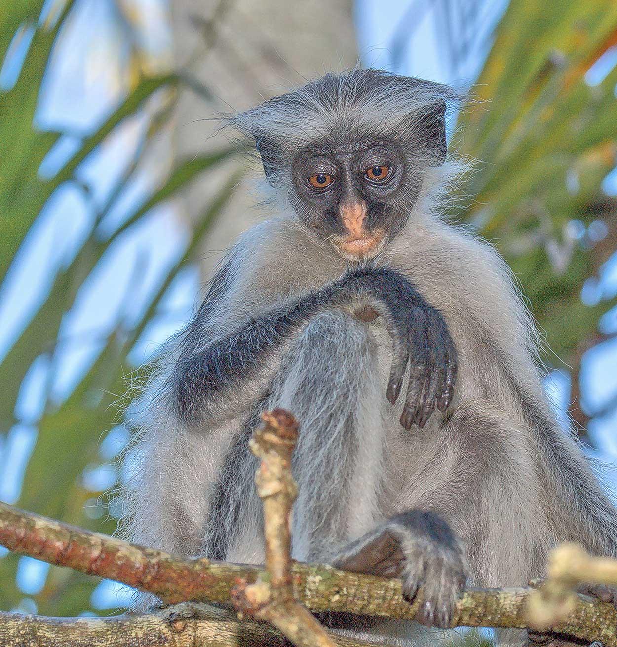 Curious Colobus, Zanzibar