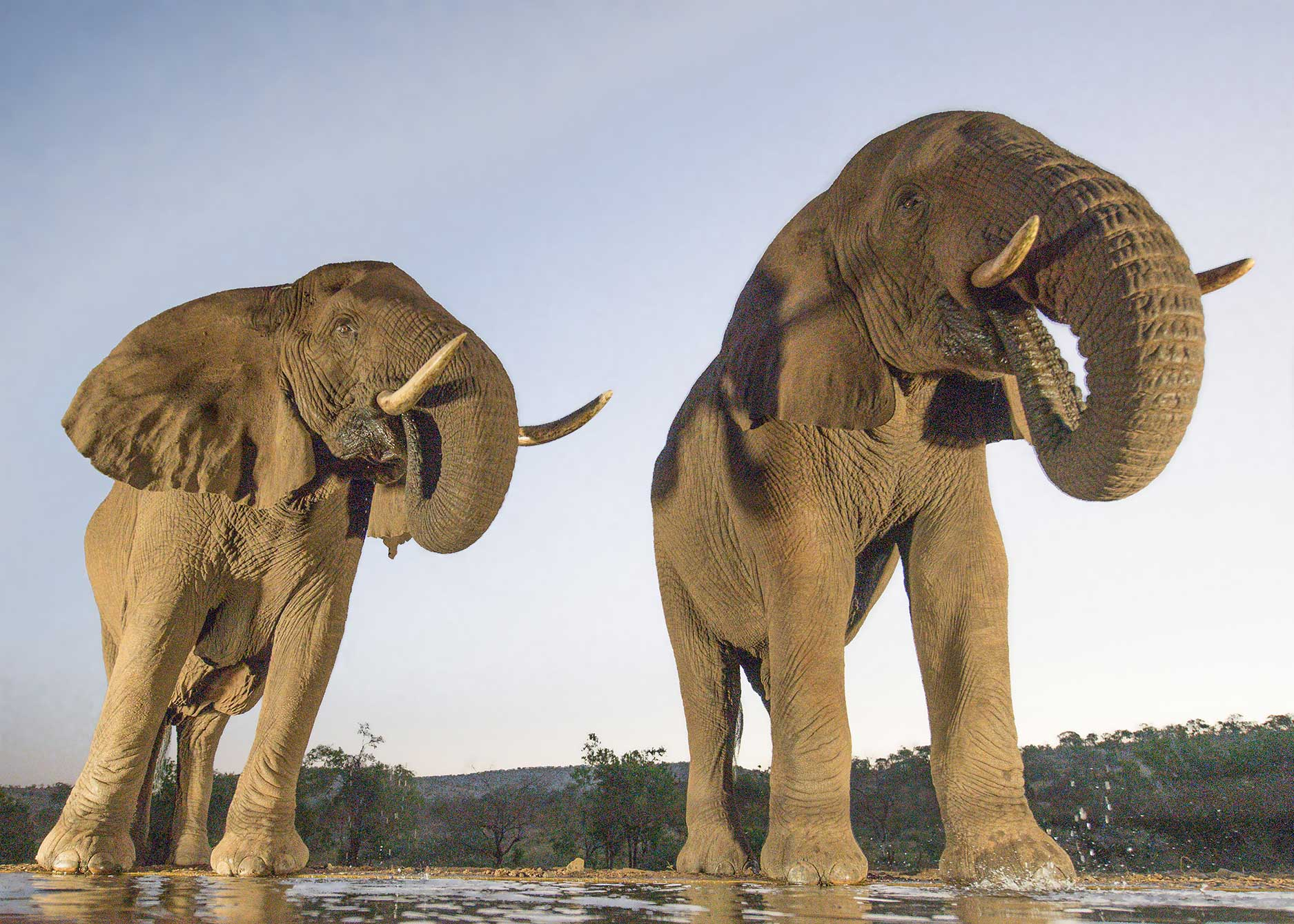 Elephant Pair, Zamanga Hide, South Africa