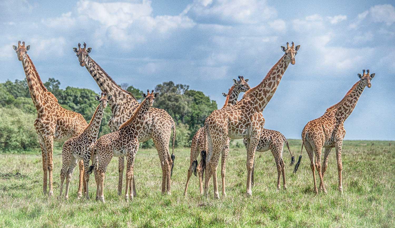 Giraffe Lineup