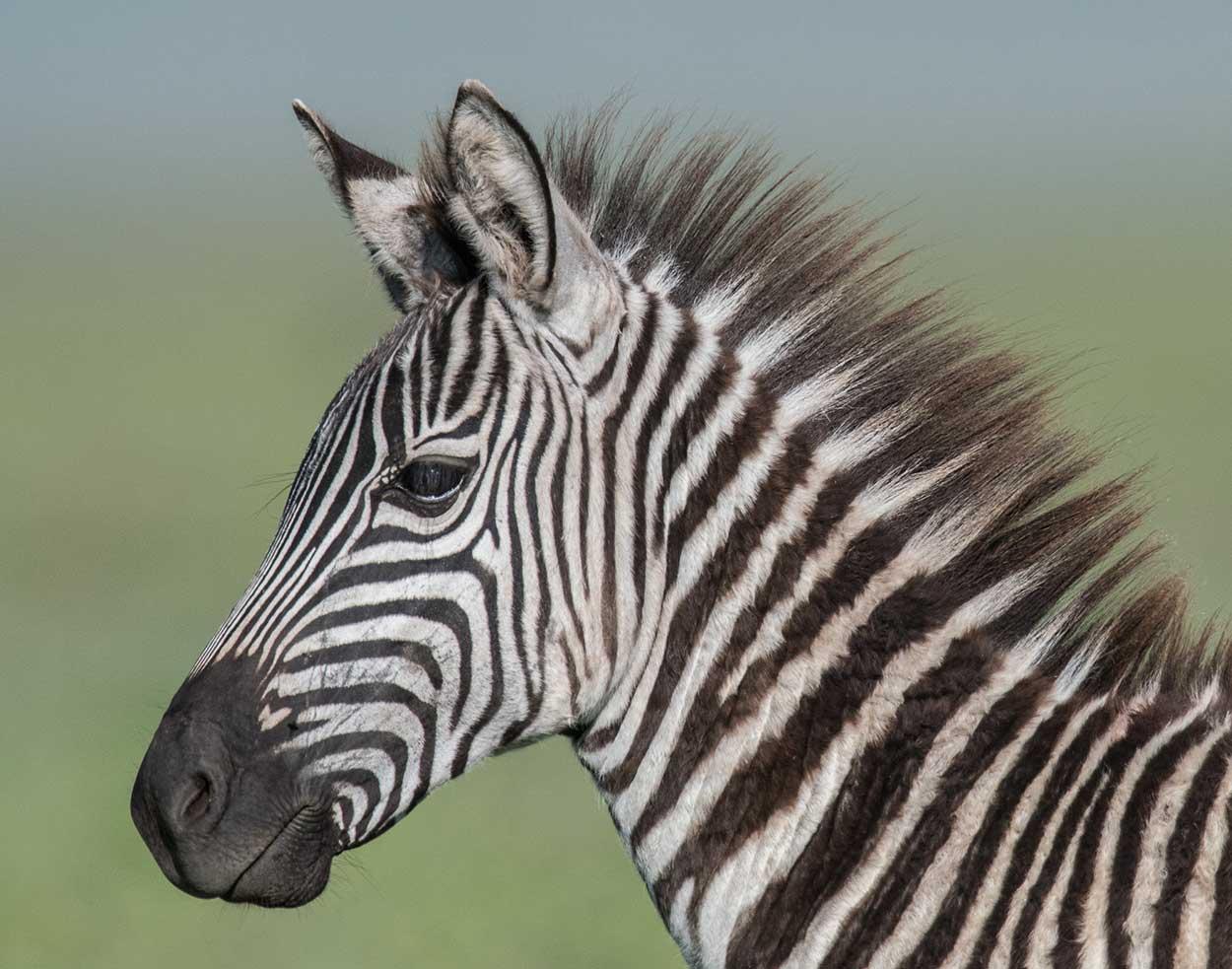 Handsome Herder, Kenya