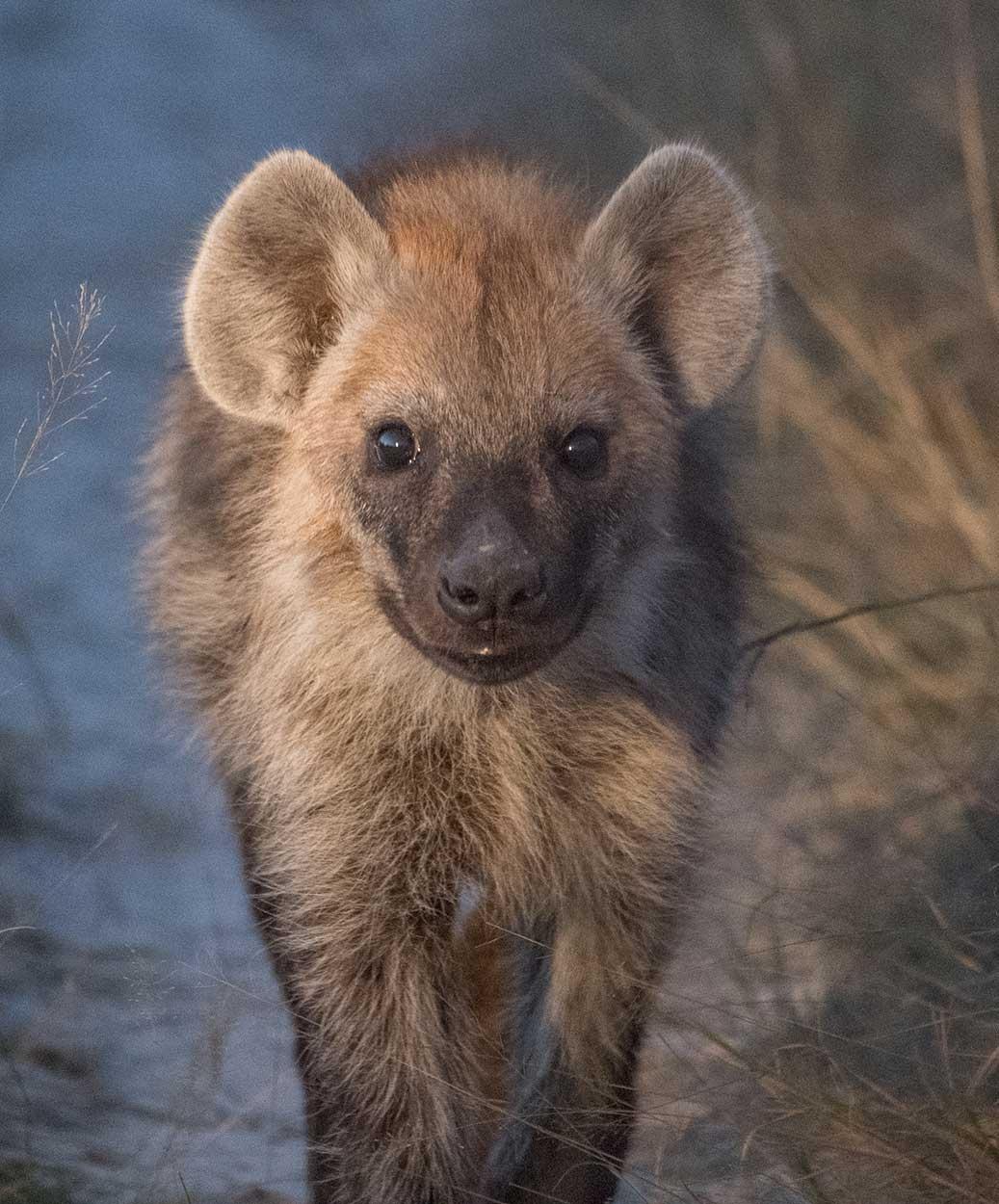 Hyena Pup, Tanzania