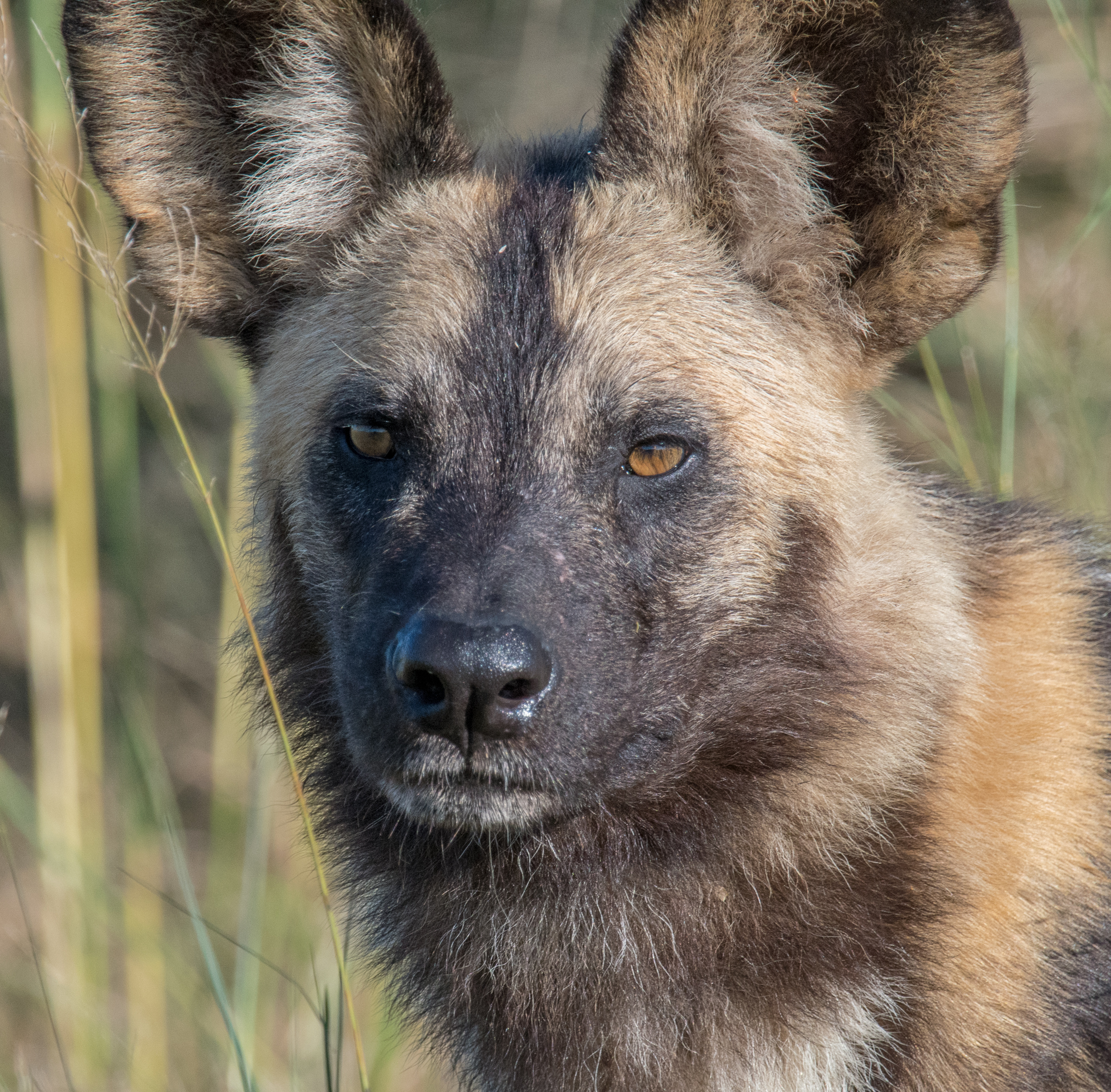 Painted Dog, Botswana
