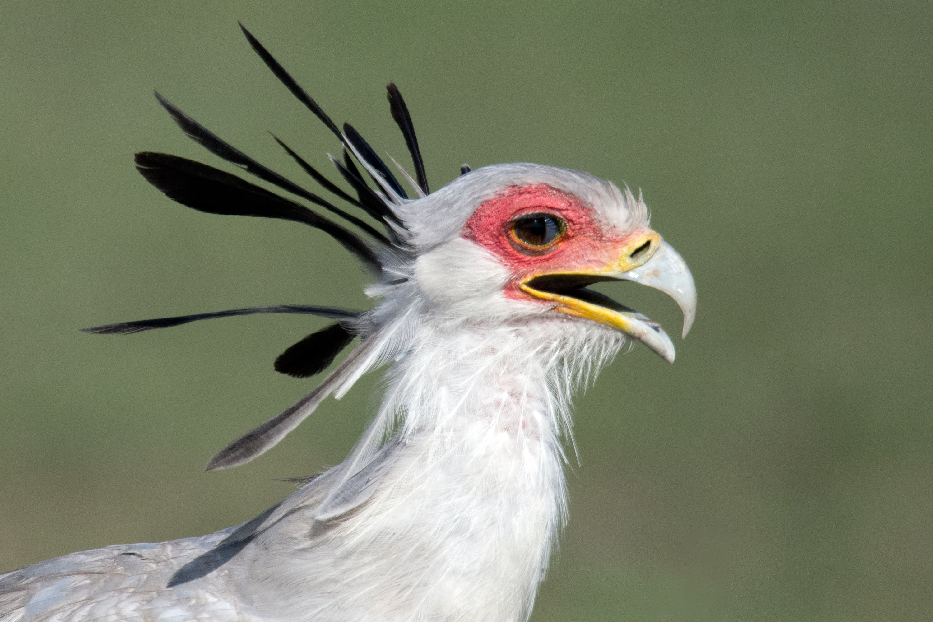 Secretary Bird, Kenya