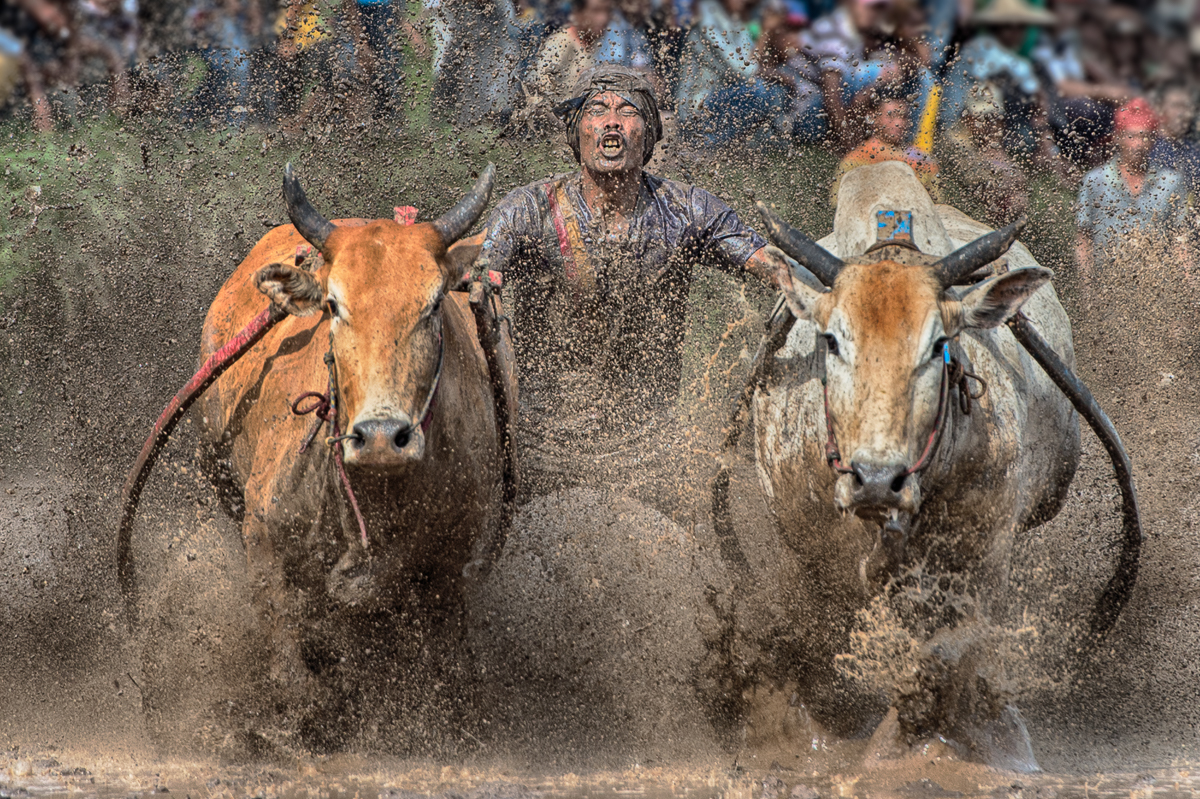Man Between Bull, West Sumatra, Indonesia