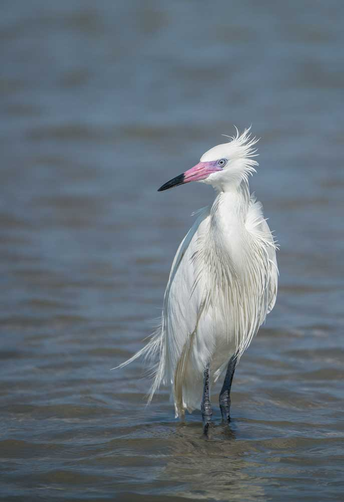 Egret, Texas Coast