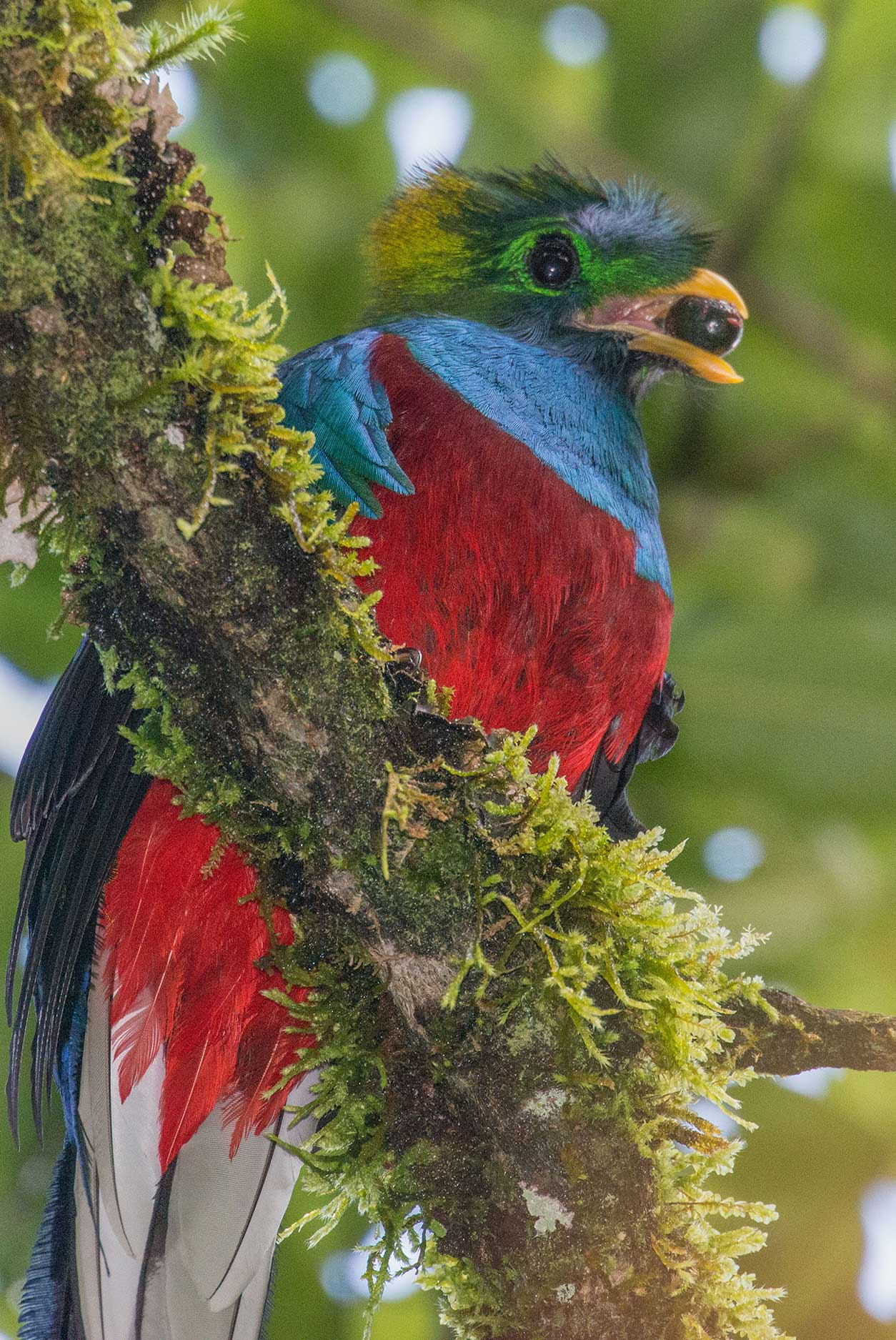 Costa Rican Quetzal