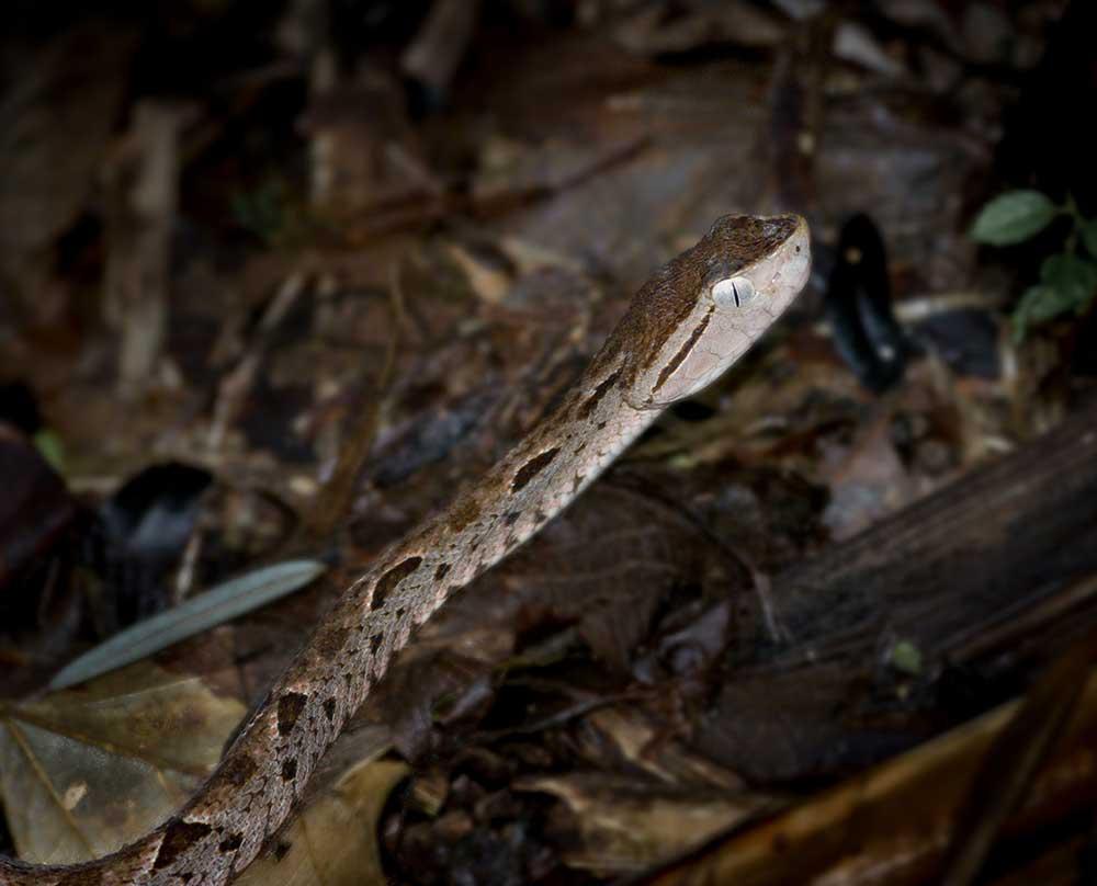 Fer de Lance, Costa Rica