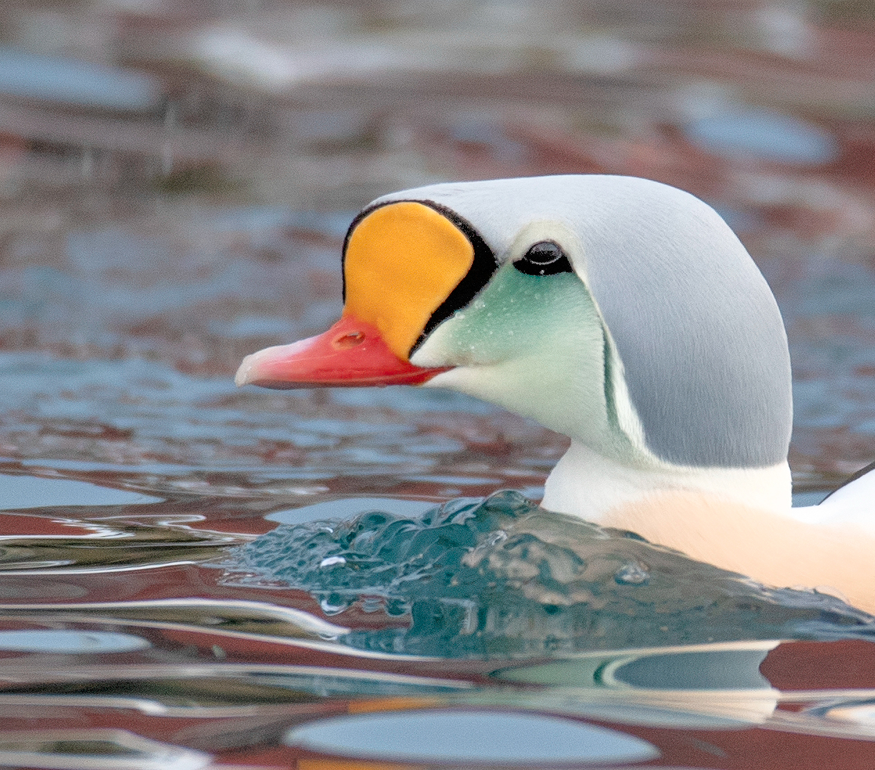 King Eider Profile, Norway