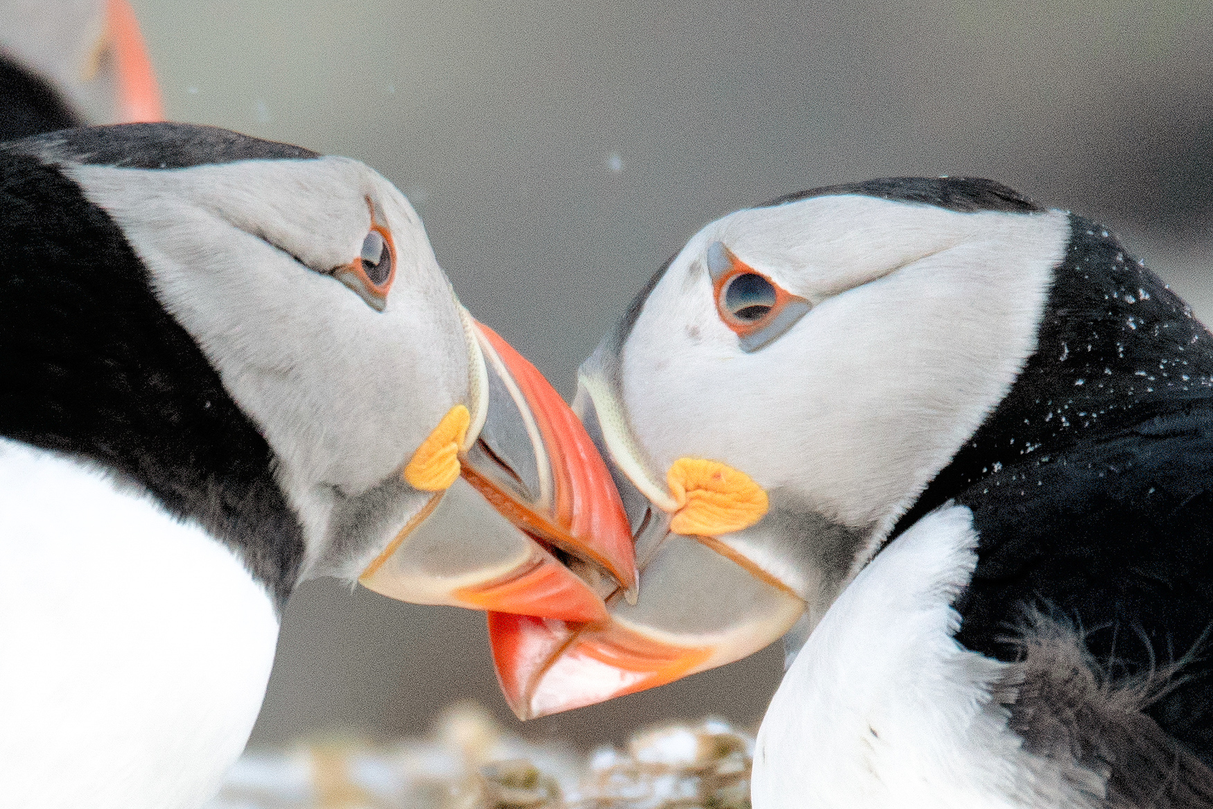 Sparing Puffins, Norway