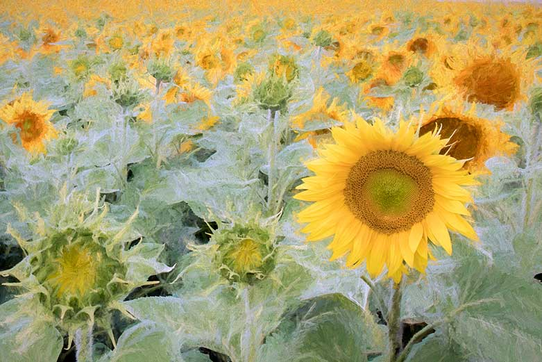 Painted Sunflowers, Loire Valley
