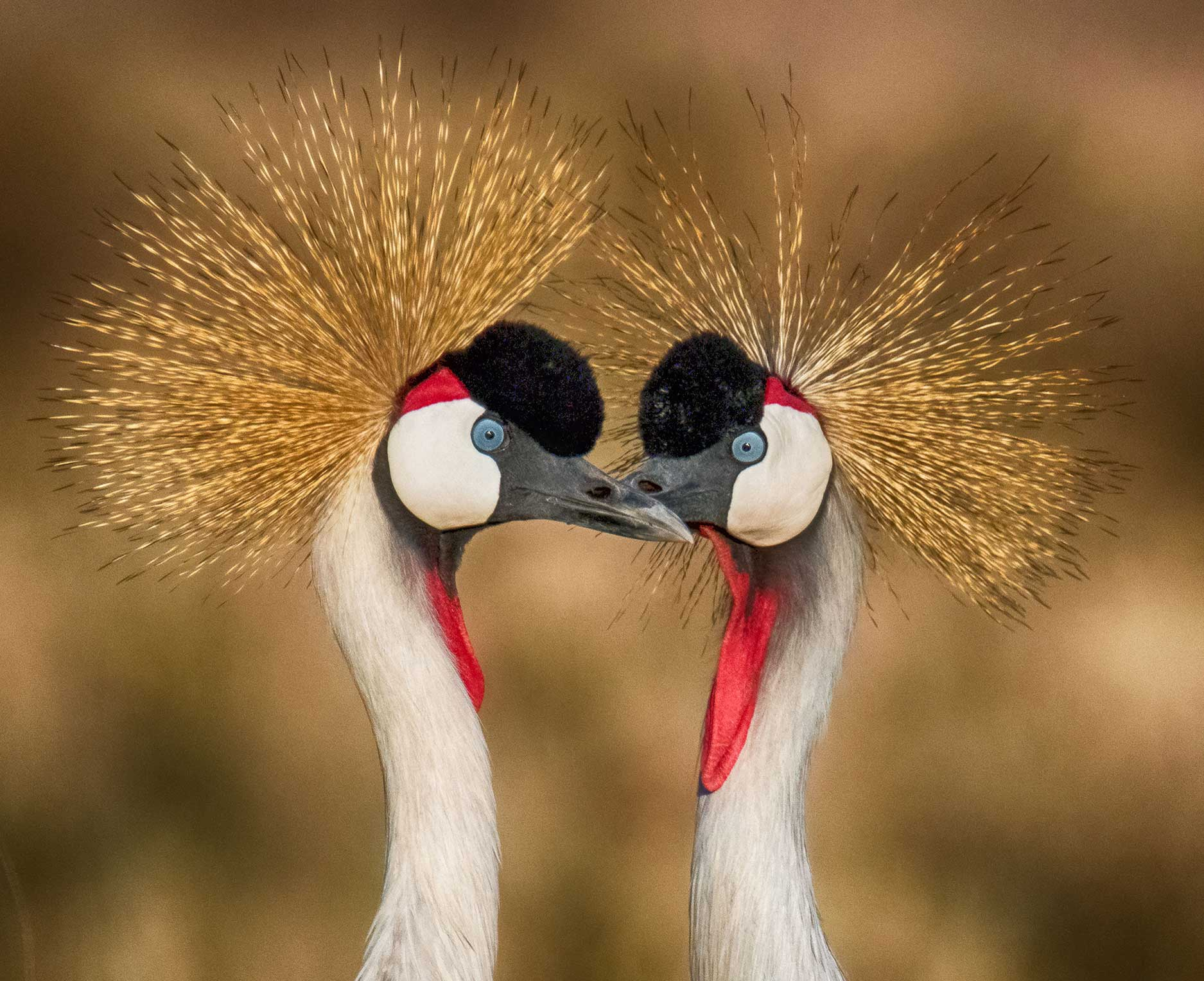 Two Cranes, Kenya