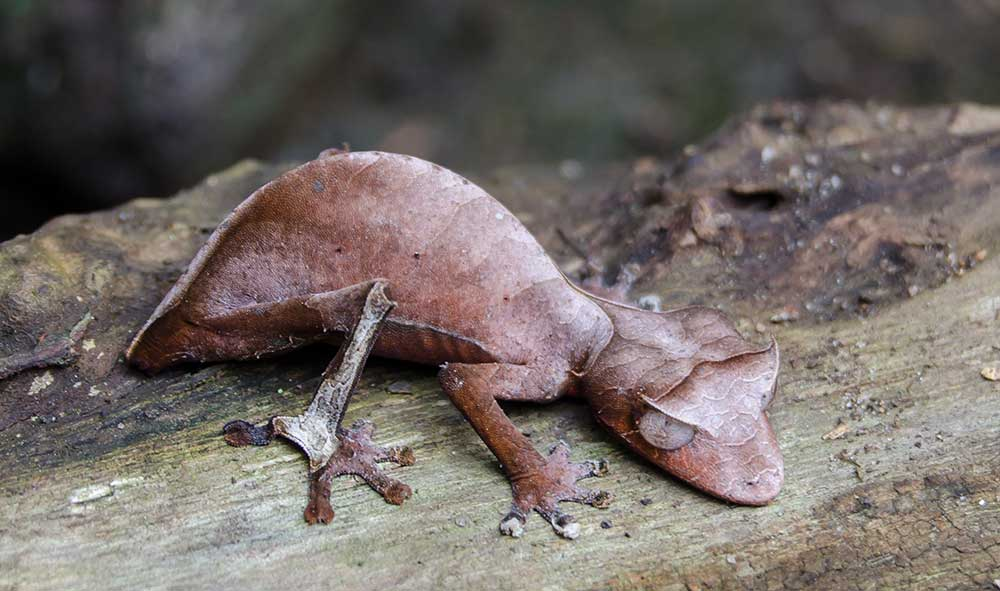 Unusual Chameleon, Madagascar