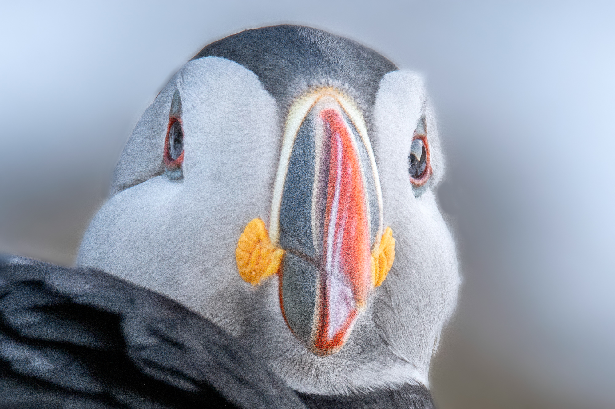 Puffin Closeup
